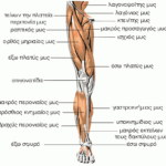 Μυς του κάτω άκρου – πρόσθια επιφάνεια