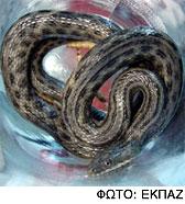Φίδια στο κέντρο της Αθήνας. Μην ανησυχείτε λένε οι ειδικοί