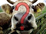 Στο κλουβί με τις τρελές...αγελάδες