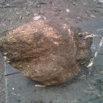 Μανιτάρι Βολφιπόρια κόκος (Wolfiporia cocos)